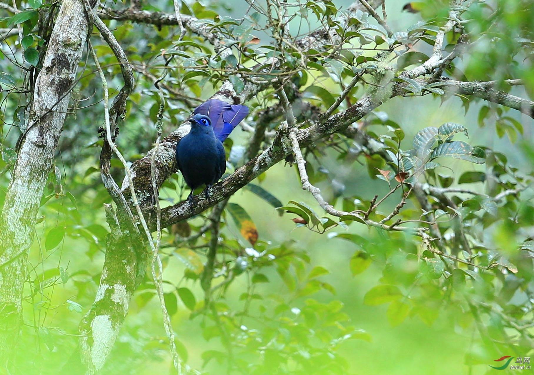 马岛蓝鹃 - 马达加斯加之旅