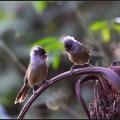 锈额斑翅鹛