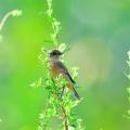 纯色山鹪莺