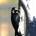 洛杉矶啄木鸟