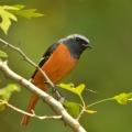 蓝喉拟啄木鸟