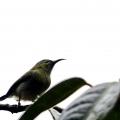 太阳鸟(雌)