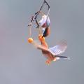 红头[长尾]山雀