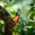 灰喉山椒鸟