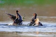 一招制敌---黑水鸡