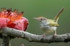 长尾缝叶莺
