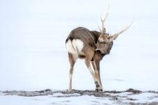 北海道虾夷鹿