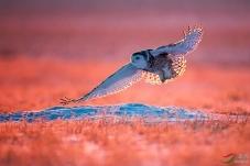 金色晨光(雪鸮)