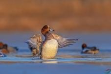 赤颈鸭---新周问好!