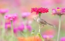 藕花深处鹪莺飞