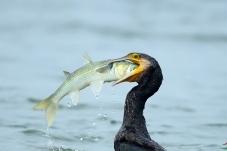 《捕获生猛乌头鱼》