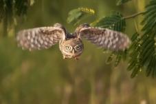 《目视前方》-----纵纹腹小鸮
