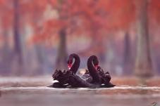 池杉湖的黑天鹅(祝贺佳作获鸟类精华!)
