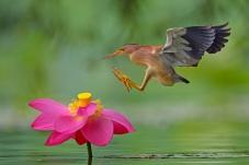 飞身扑向鲜花--黄斑苇鳽