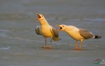 灰背鸥掀起阵阵鸟浪