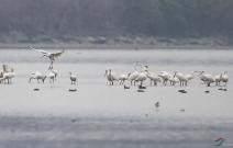 黄荡湖的白琵鹭