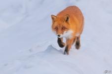 我来也 - 赤狐