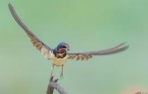 大自然的河塘家燕