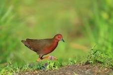 田埂上的红胸田鸡