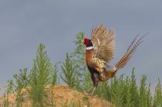 振翅——环颈雉