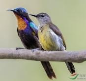 5月13日菲律宾巴拉望纯自然鸟类拍摄7日行程