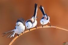 三只山雀在讨论