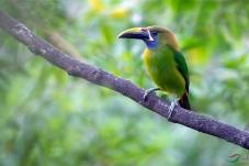 绿巨嘴鸟    摄于哥斯达黎加