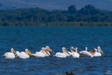 奈瓦沙湖的白鹈鹕