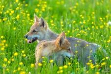 《玩耍的小狼》——祝各位老师周末愉快!