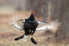 呼唤-----黑琴鸡