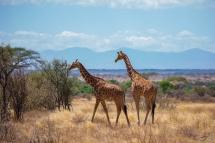 非洲长颈鹿