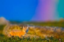 彩虹下的狐狸