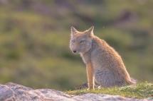 刚生完宝宝的藏狐