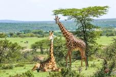 午休的长颈鹿