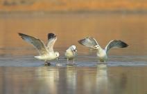 抢夺食物的鸥之战
