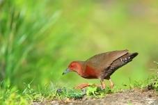 小心翼翼------红胸田鸡