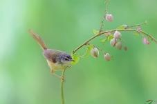 注视 ---- 黄腹鹪莺