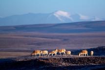 觅食——藏羚羊