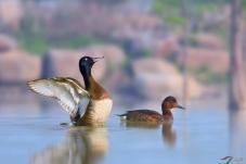 池杉湖的青头潜鸭