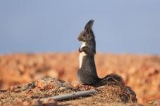 《观望》-----松鼠