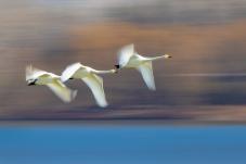 学飞的天鹅