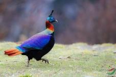 一级保护---棕尾虹雉