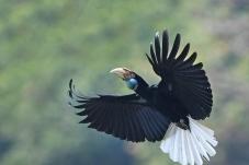 花冠皱盔犀鸟(雌)