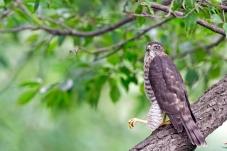 树上松雀鹰