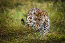 草原杀手--豹