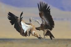 空中格斗——高山兀鹫