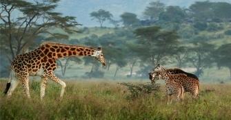 长颈鹿母与子----肯尼亚拍摄