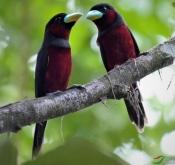 9月11日东马婆罗洲鸟类拍摄活动