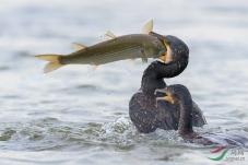 看着别人吃鱼
