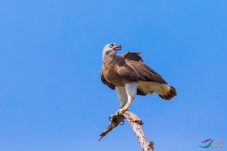 《志向高远》—— 灰头渔鹰